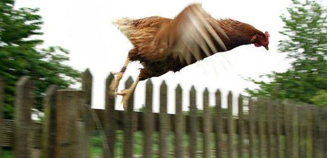 Tavuklar neden uçamaz ?