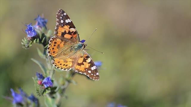 Kelebek zengini il keşfedilmeyi bekliyor