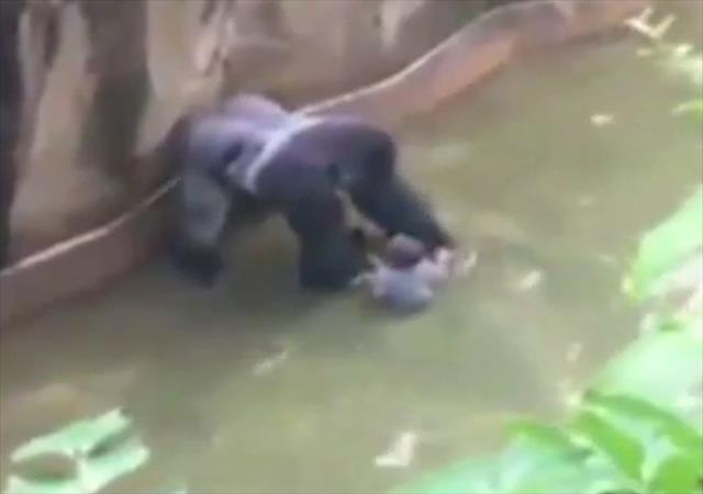 Minik çocuk goril kafesine düştü