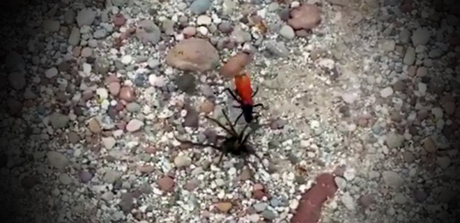 Tarantulanın en büyük kabusu