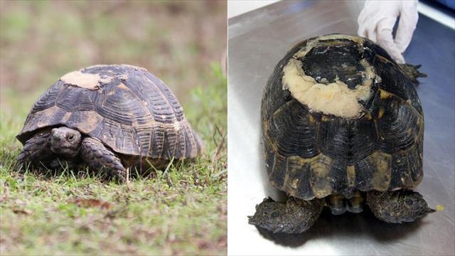 Yaralı kaplumbağa diş dolgusu malzemeleriyle yaşama tutundu