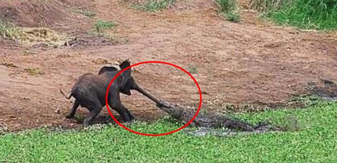 Timsah fili yakaladı ve...