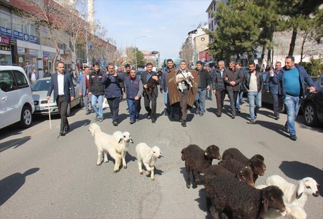 Ünlü türkücü çoban oldu, koyunlarla şehri gezdi