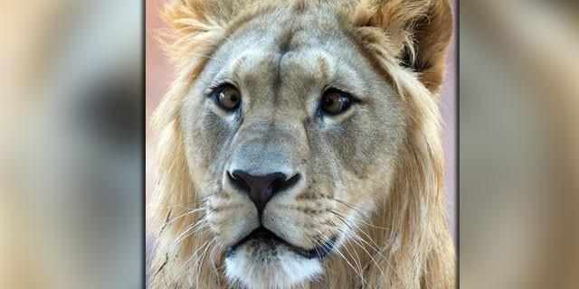 Bu aslan görenleri hayrete düşürüyor