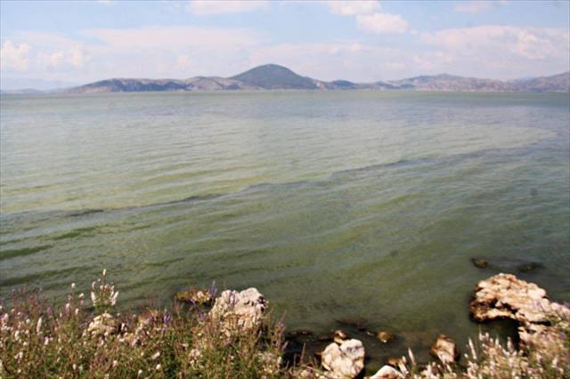 Bafa Gölü yine yeşile boyandı