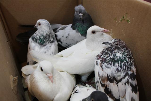Güvercinlerin arasından uyuşturucu çıktı