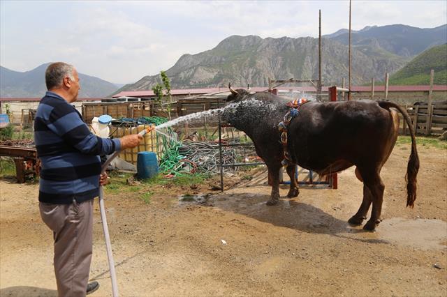 Artvin'de milyonluk boğa üretim çiftliği