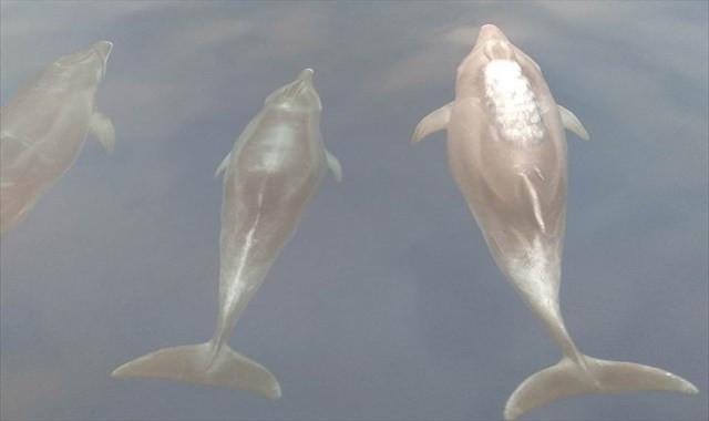 Yunuslar meteoroloji şamandıra kurulumuna eşlik etti