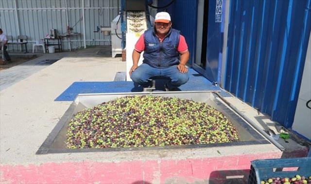 Zeytinyağında 25 bin ton rekolte bekleniyor