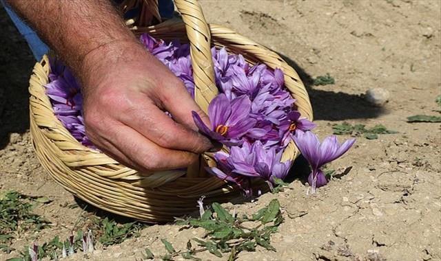 Dünyanın en pahalı bitkisinde hasat erken başladı