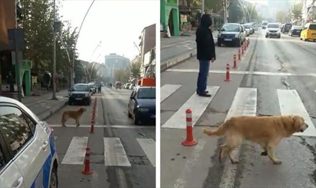 Yaya geçidini kullanan köpek kameralara yansıdı