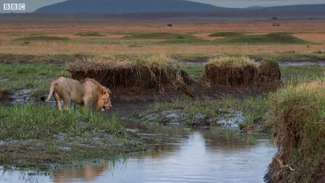 Aslanın imdadına bakın kim yetişti? 1.resim