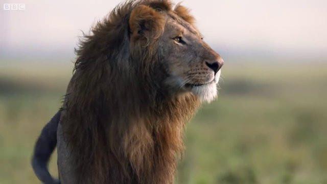 Aslanın imdadına bakın kim yetişti? 2.resim