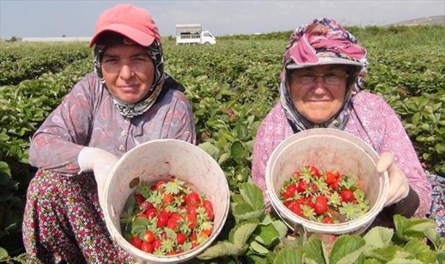 Çilek üreticileri sezonu mutlu kapattı