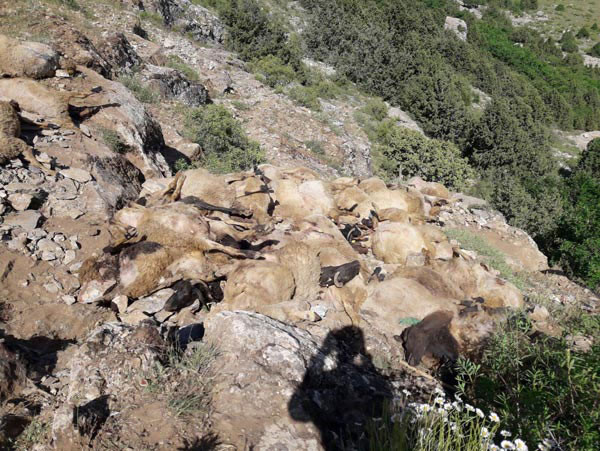 Van'ın ardından Bitlis'te… Bu koyunlara ne oluyor? 1.resim