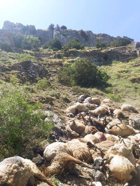 Van'ın ardından Bitlis'te… Bu koyunlara ne oluyor? 4.resim