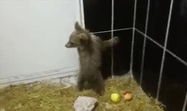 Tedavi edilen yavru ayılar sağlığına kavuştu