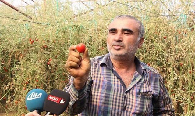 'tuta' yüzünden binlerce ton domates çöpe gitti
