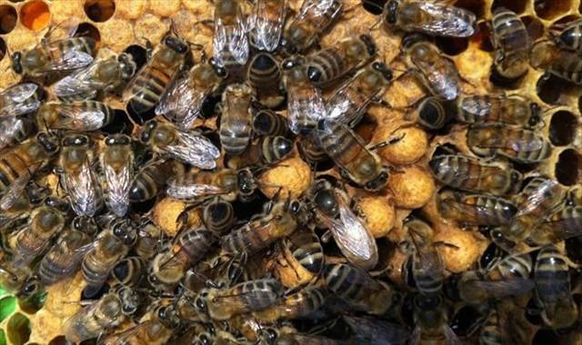 Arılara geçiş üstünlüğü getirildi